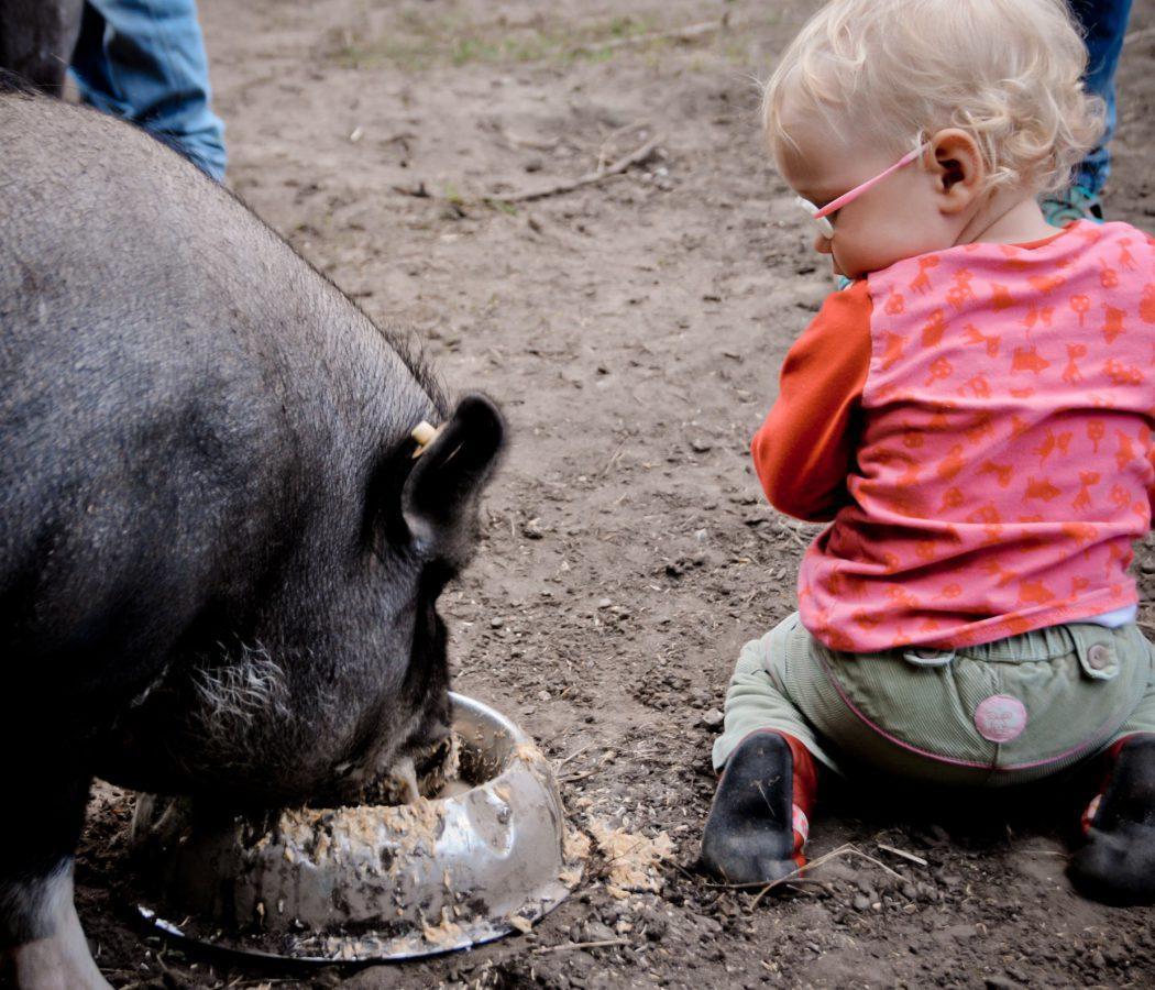 Schweine füttern Ferienhof Wichtelweide (Copy)